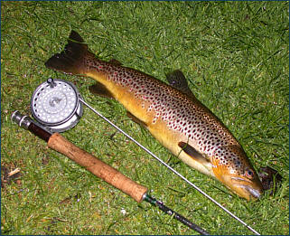 Scottish Brown Trout