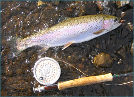 Carron Valley Rainbow Trout