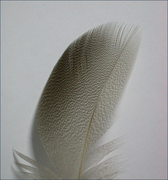 Bronze mallard shoulder feather