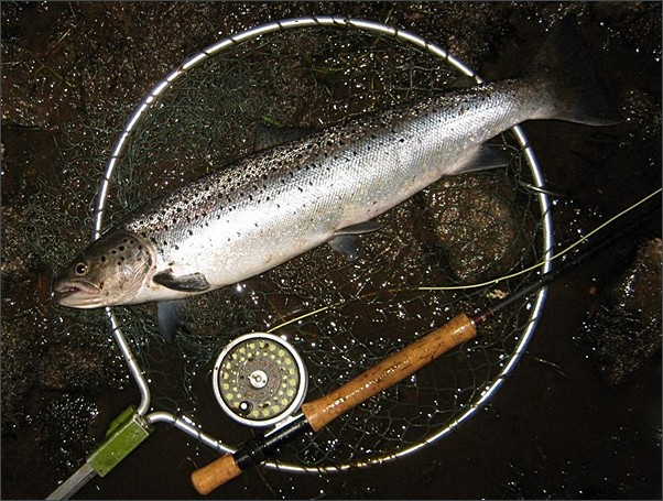 Spey sea trout